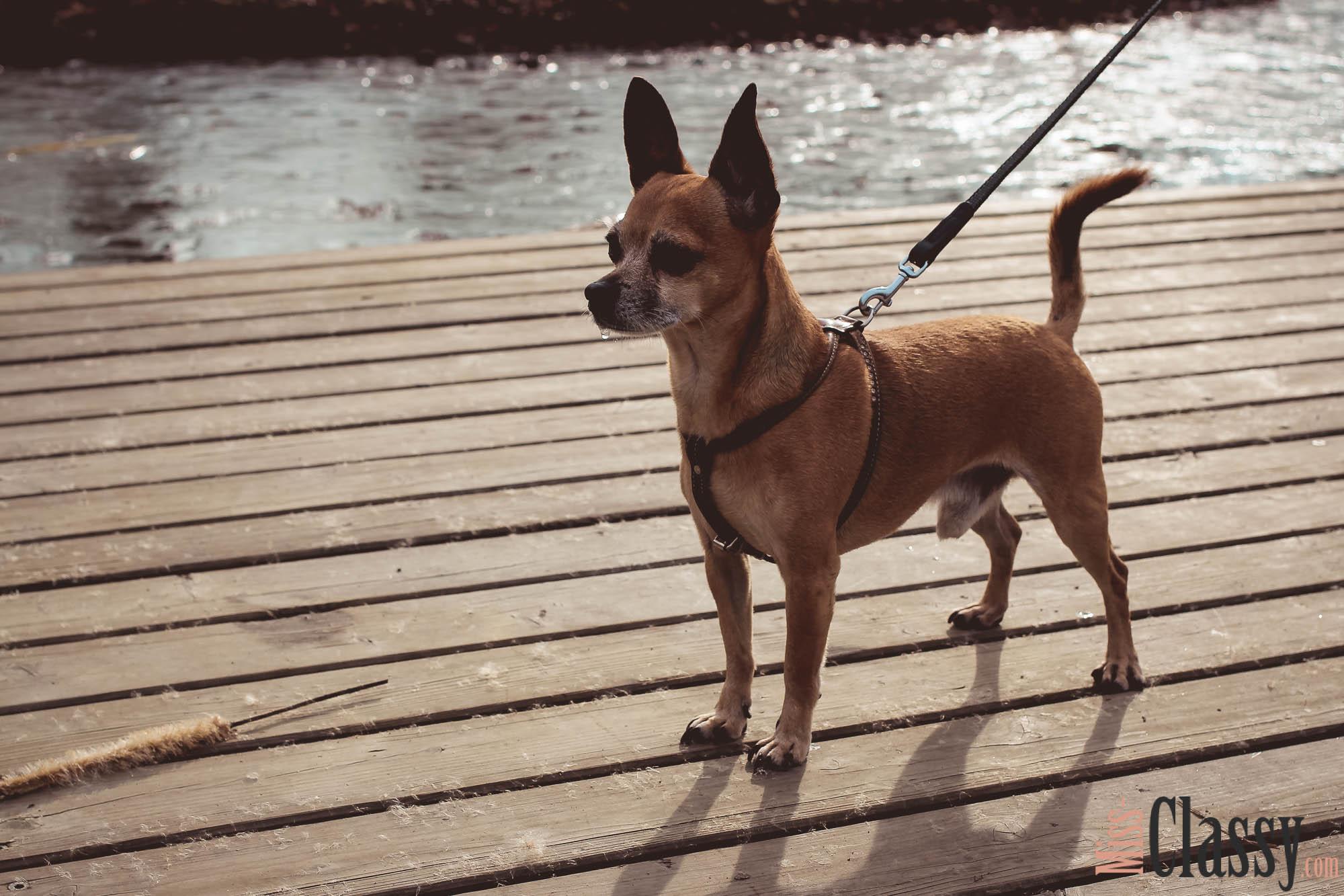 Chihuahua Runway