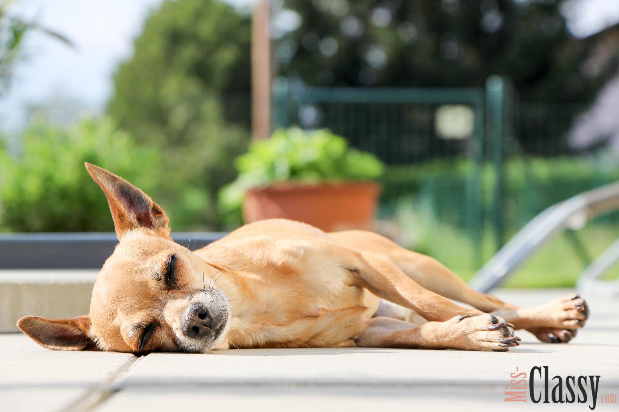 10 Fakten über unseren Chihuahua