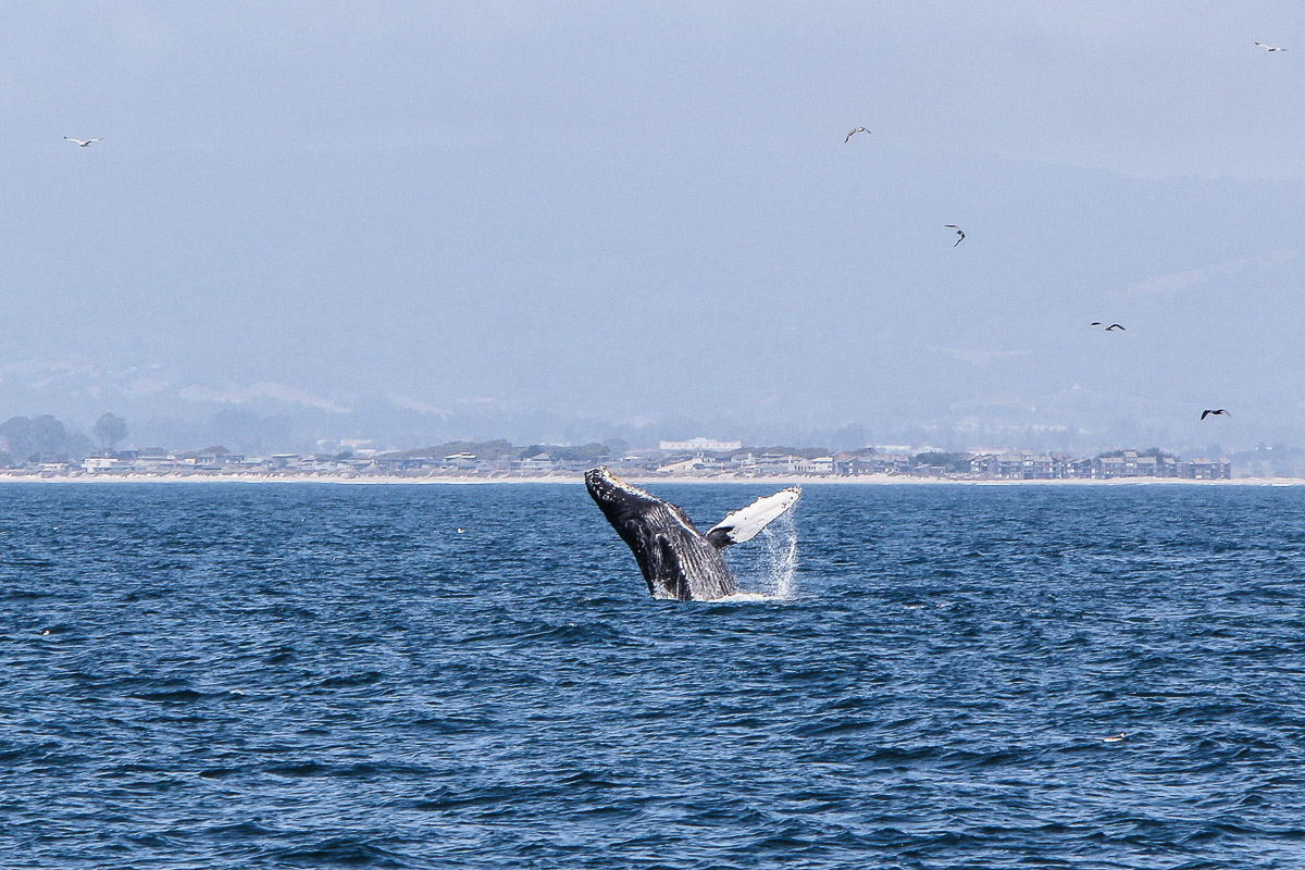 Monterey und Whale Watching in der Monterey Bay, Whale Watching Tour von Princess Monterey Whale Watching, Wal, Wale, Walbuckel, Wale springen aus dem Wasser, USA, Reise Blog, Reisebericht, Westküste, Roadtrip, Kalifornien, Miss Classy