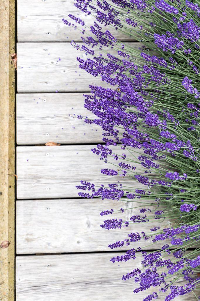 Lavendel, Der Arkadenhof – #hideaway im Südburgenland // Der Arkadenhof, Dreikanthof, idyllischen Urlaubsdomizil, Entspannung, Reiseblog Österreich, www.miss-classy.com #burgenland #reise #reiseblog #arkadenhof #derarkadenhof