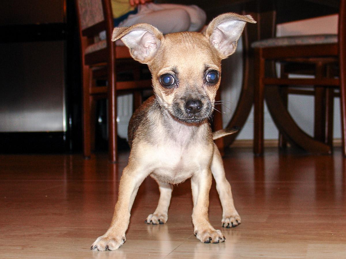 Wenn Hunde älter werden, Seniorenhund, Hund im Alter, Chihuahua, ChiChi, Hunderasse, Hundeblog, Lifestyleblog, Graz, Miss Classy