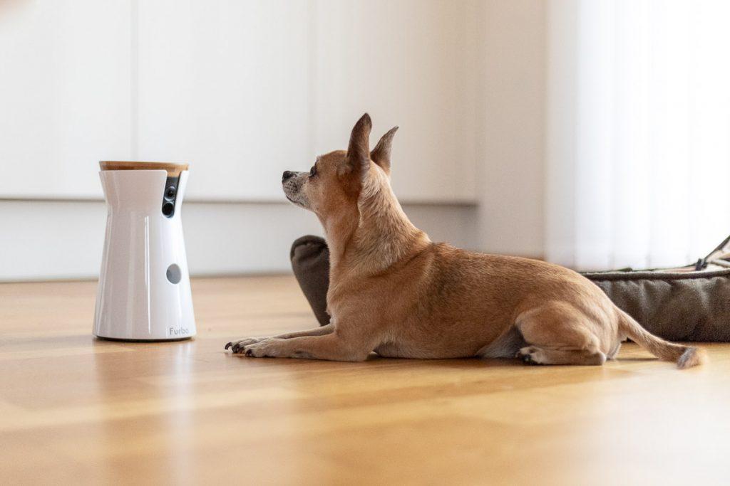 Furbo Hundekamera, Chihuahua ChiChi