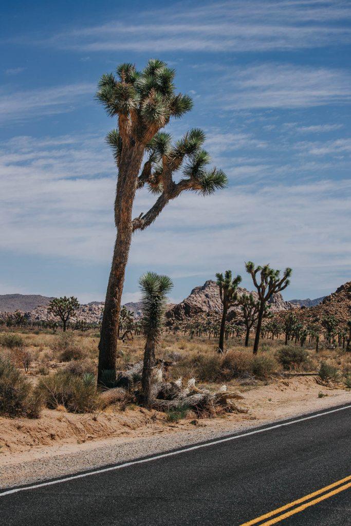 Josua Palmlilie, Josuabaum - Die schönsten Reisefotos - Joshua Tree Nationalpark Bilder